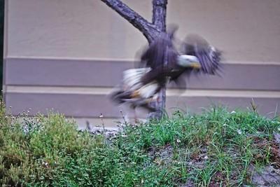 _003_bald eagle_04012021