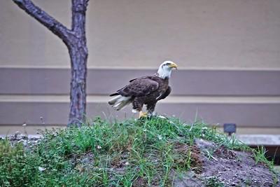 _005_bald eagle_04012021