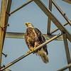 Bald Eagle,Clearwater,Fl(BOB hdr+)   2018-03-20-3200054