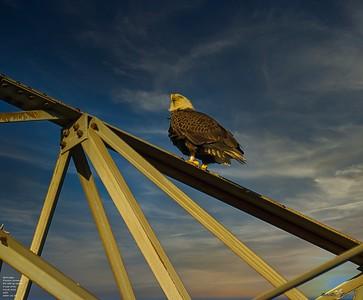 2020-12-26_12_bald eagle