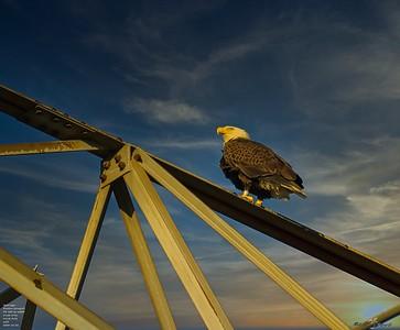 2020-12-26_08_bald eagle