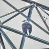 Bald Eagle,-2018-09-18--9180031