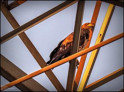 P5130041_ Bald Eagle imm