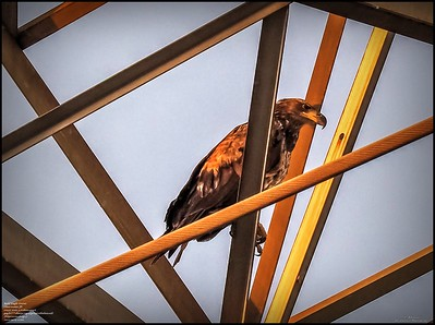 P5130036_ Bald Eagle imm
