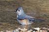 Tufted Titmouse<br /> 3-17-11