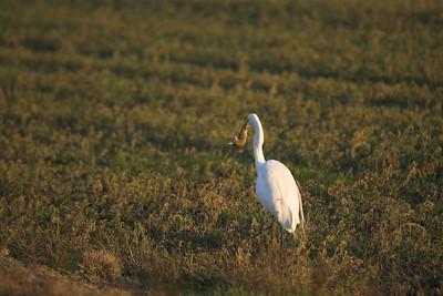 Egret Catches Vole