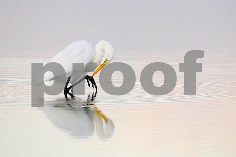 Great Egret at dusk