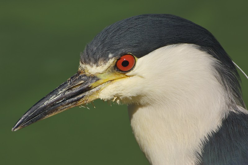 Black Crown Night Heron headshot