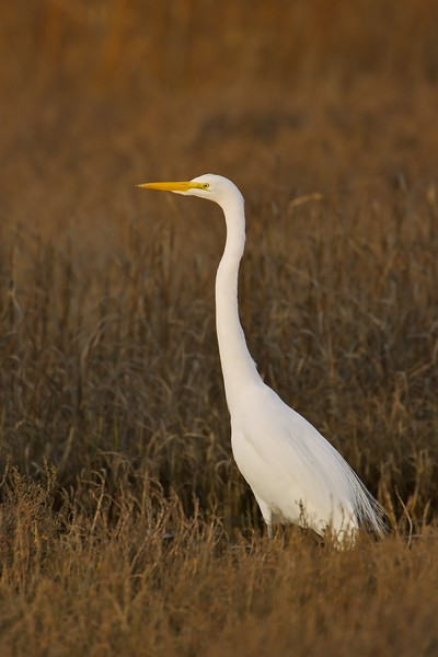 Great Egret in warm light