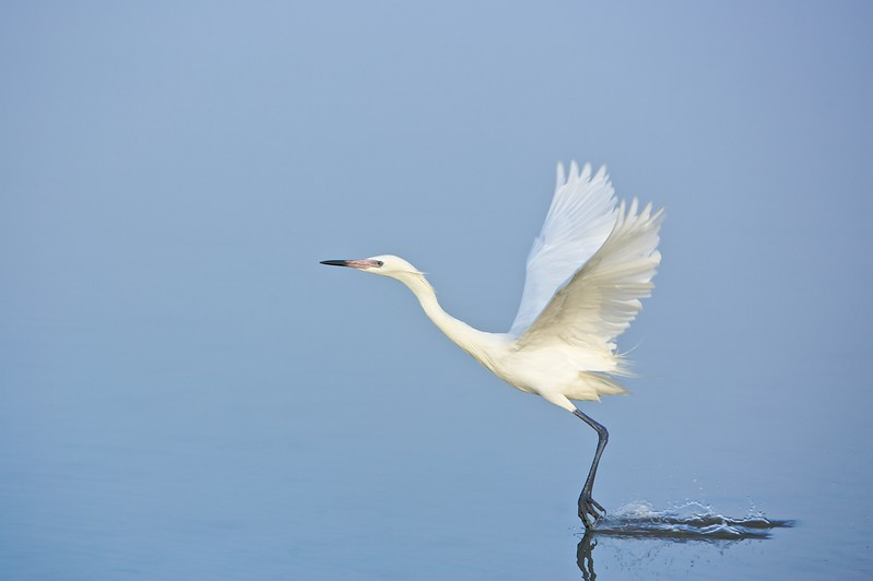 white morph reddish egret dandling its feet in the water