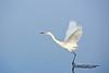 white morph reddish egret dandling its feet in the water