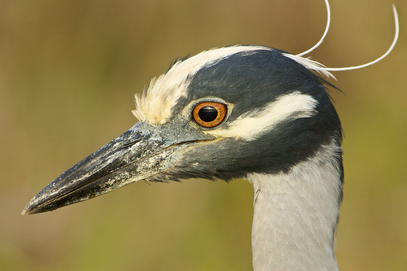 yellow crown heron close up