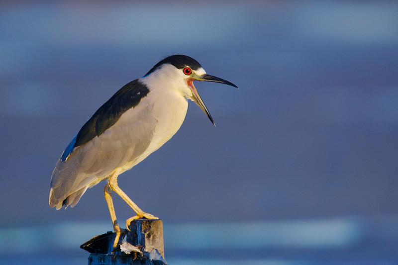 Black night crown heron