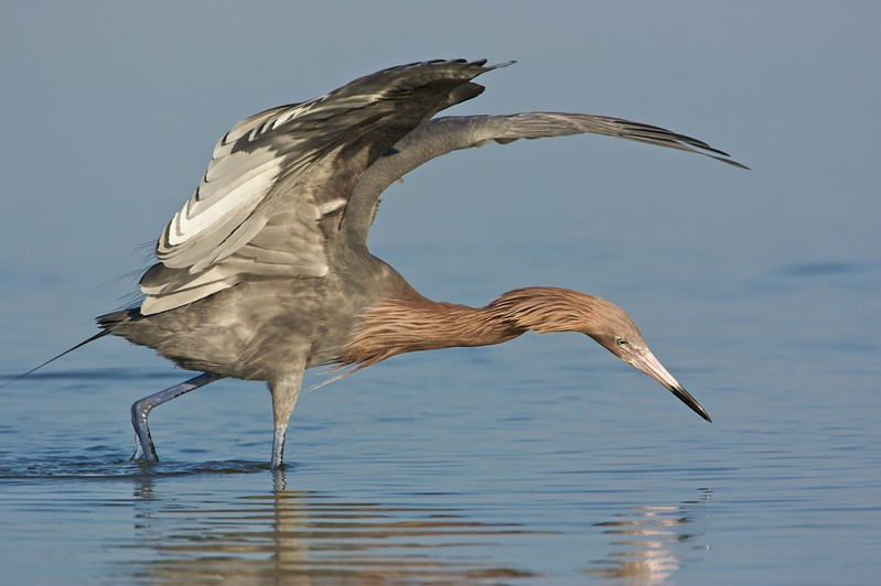 Reddish egret fishing with wings extended