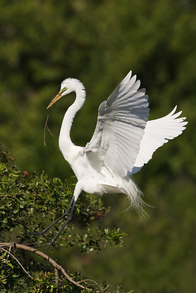Great Egret landing with twig