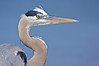 great blue heron head and shoulder
