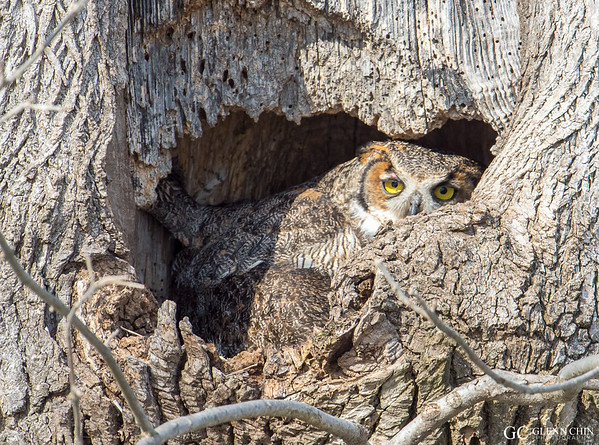 20170317_Great Horned_65-Edit