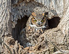 20170317_Great Horned_42-Edit-2