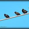 2017-04-20_P4200010_European Starling,Clwtr,fl
