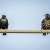European Starling,Clearwater,fl (am workfl,photo)   2018-03-26-3240003_Optimizer
