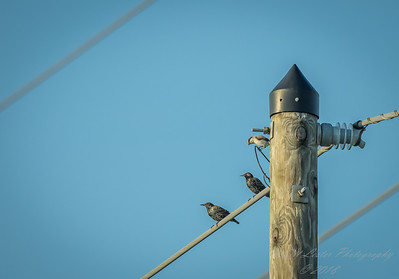 Starling and Shrike,Clwtr,Fl-- 2018-08-18-8180113