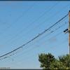 2015-09-30_P9300026_European Starling,Clearwater,Fl