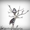European Starling_P2040093_2017-02-03