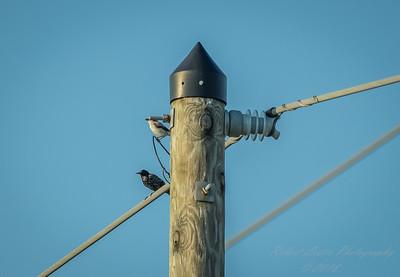 Starling and Shrike,Clwtr,Fl-- 2018-08-18-8180106