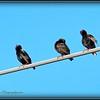 2017-04-20_P4200008_European Starling,Clwtr,fl