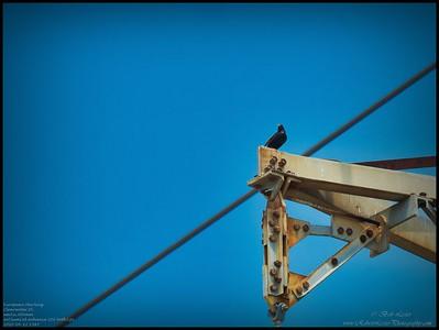 P4120070_European Starling