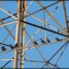 2015-09-30_P9300017_European Starling,Clearwater,Fl
