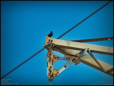P4120071_European Starling