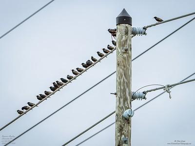P2140015_ 2020-02-14 European Starlings