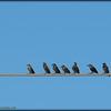 2015-09-30_P9300007_European Starling,Clearwater,Fl