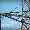 2015-01-11_IMG_2180_Starling, Clearwater,Fl