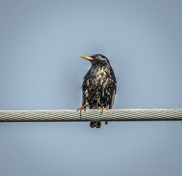 European Starling,Clearwater,fl (am workfl,)   2018-03-26-3240006_Natural But Edgy
