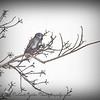 European Starling_P2040094_2017-02-03