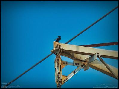 P4120072_European Starling