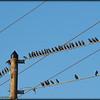 2015-09-30_P9300027_European Starling,Clearwater,Fl