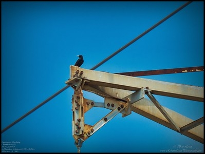P4120069_European Starling