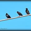 2017-04-20_P4200007_European Starling,Clwtr,fl