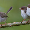 Superb Fairy Wrens - female with two girls.