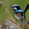 Superb fairy wren. Tara Ridge.