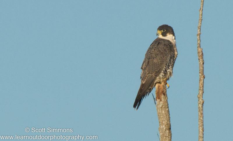 Peegrine Falcon