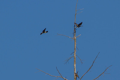 Merlins in Shoreline, 2013
