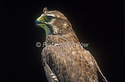 Praire Falcon, Falco mexicanus, North America, Controlled Conditions