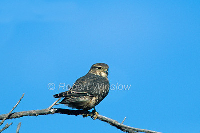 Merlin, Falco columbarius, New Mexico, USA, North America