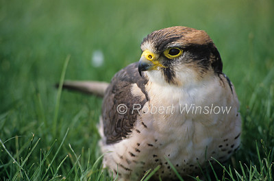 Lanner Falcon, Falco biarmicus, Controlled Conditions