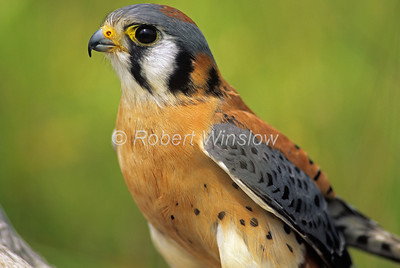 Male, American Kestrel, Falco sparverius, North America, Controlled Conditions