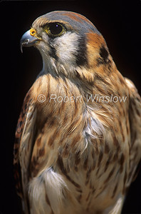 Female, American Kestrel, Falco sparverius, North America, Controlled Conditions